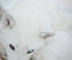 animal, white, and wolf image