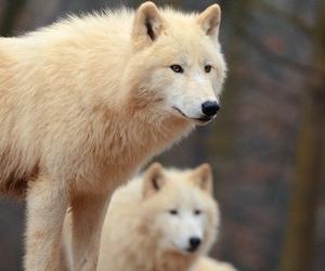wolf, animals, and white image