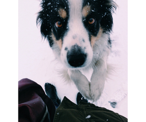 amazing, border collie, and dog image
