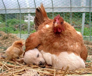 Chicken, dog, and puppy image