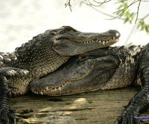 animals and crocodile image