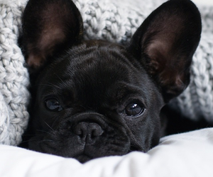 french bulldog, dog, and puppy image