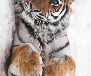 beautiful, snow, and tiger image