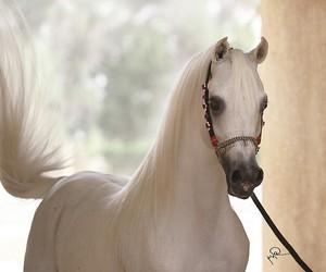 arabian, beautiful, and cheval image