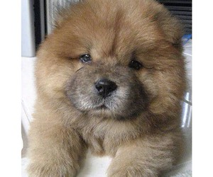 chow chow dog cute image