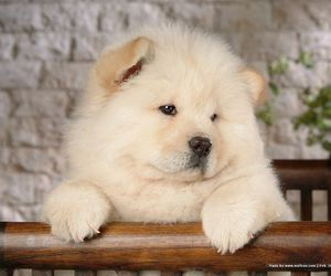 chow chow, puppy, and dog image