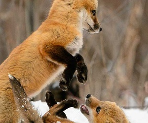 aw, fox, and cute image