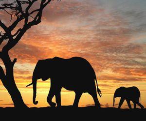 elephant, africa, and sunset image