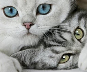 beautiful, blue, and cats image