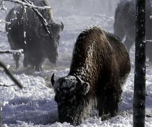 snow, winter, and bisons image