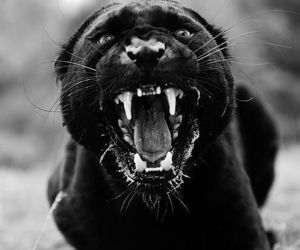 animal, scary, and panter image