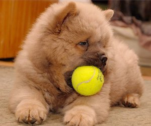 chow-chow and toy image