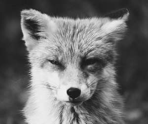 beautiful, black and white, and foxes image