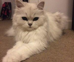 cat, beautifil, and cutie image