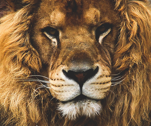 adventure, beautiful, and lion image