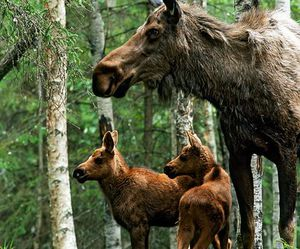 forest, moose, and nature image