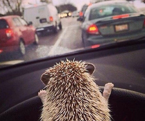 animal, hedgehog, and car image