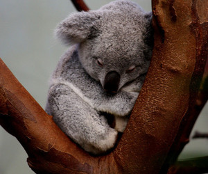 Koala, animal, and nature image