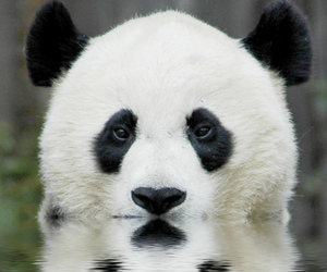 animal, nature, and panda image