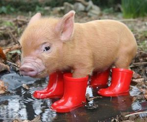 boots, little, and pig image