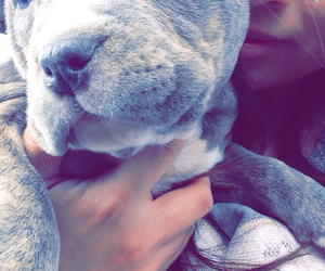 pitbull, puppy, and blue nose pit image