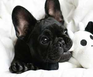 animals, frenchie, and white image