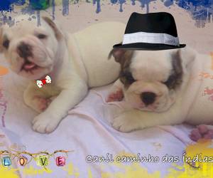 bull, dogs, and cute image