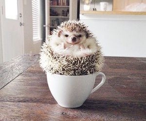 cute, hedgehog, and animal image