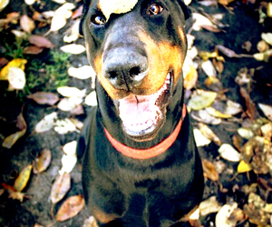 doberman, dog, and pet image