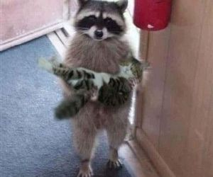 funny, kitty, and raccoon image