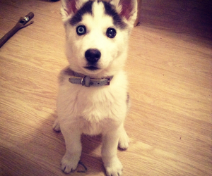 baby, husky, and cutie image