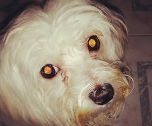 dirty, maltese, and love image