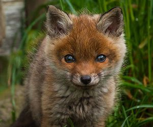 fox, animal, and baby image