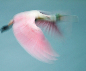 pink, bird, and fly image