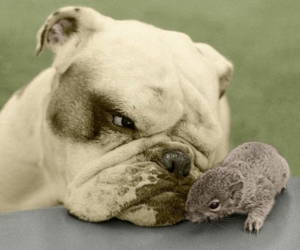 bulldog, dog, and squirrel image