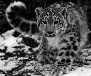 snow, leopard, and animal image