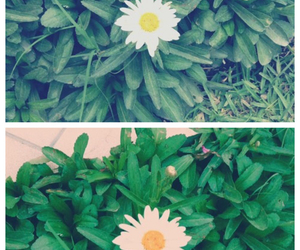 daisy, flores, and green image