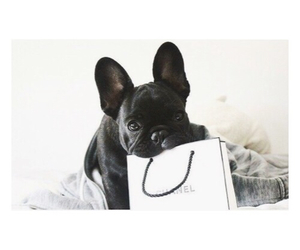 dog, cute, and chanel image