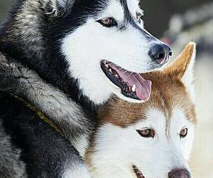 dog, husky, and animal image