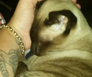 adorable, cuddles, and siamese image