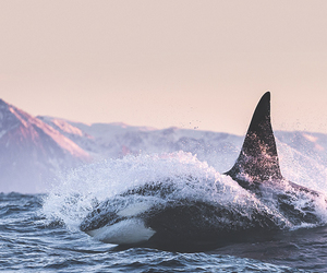 adorable, indie, and killer whale image