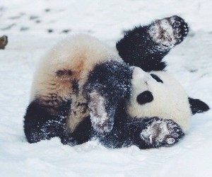 animal, panda, and snow image