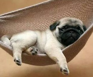 lovely, sweet, and pug image