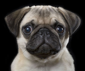 dog, pug, and cute image
