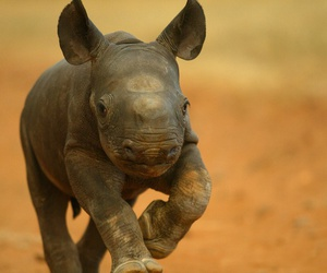 animal, baby, and rhinoceros image