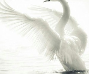 Swan, white, and animal image