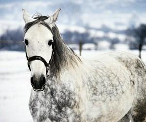 beautiful, grey, and horse image