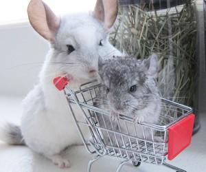 animal, Chinchilla, and baby image