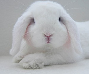 animal, bunny, and white image