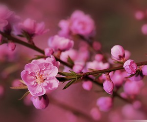beautiful, cherry, and flower image